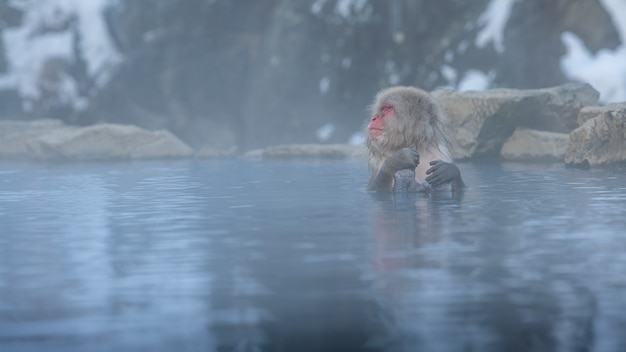 Snow monkey japanese macaque of red face portrait in the cold water with fog and snow. macaca fuscata bath in a natural onsen hot springs of nagano. animal in the nature habitat, hokkaido, japan.