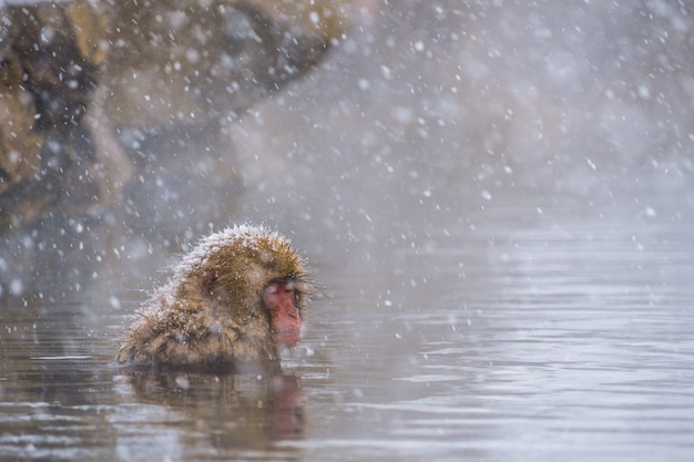 Snow monkey (japanese macaques) bathe in onsen hot springs while snow fall