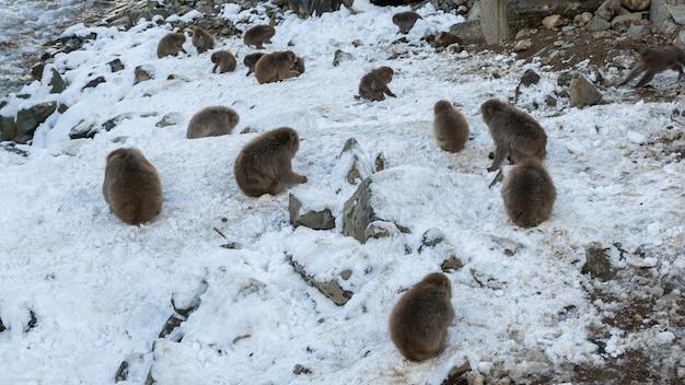 Снежная обезьяна японские макаки с красным лицом едят в холодном снегу. macaca fuscata едят в естественной горе нагано. животное в естественной среде обитания, хоккайдо, япония.