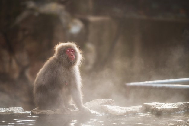 Snow monkey in jigokudani park at sunset