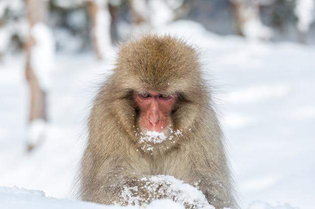 Snow monkey macaque