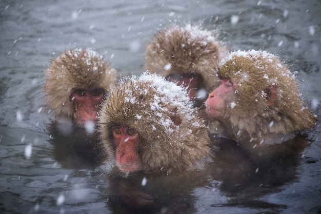 Snow monkeys (japanese macaques) bathe in onsen hot springs while snow fall
