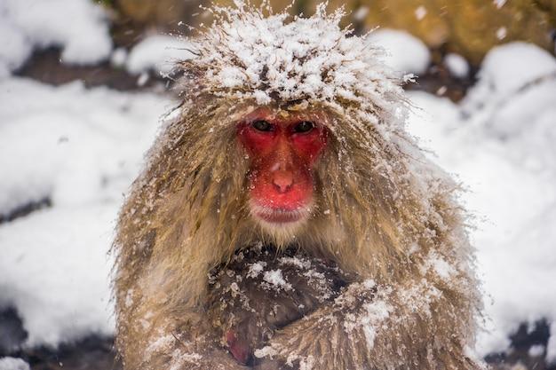 雪猿とニホンザル