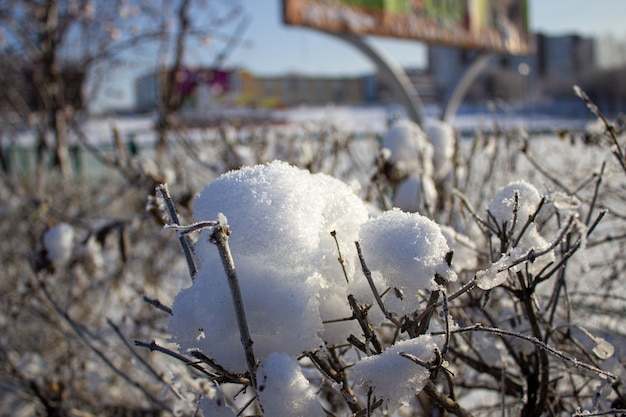 Снег на кусте зимой в мороз.