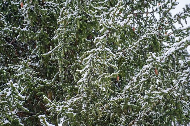 ウクライナのウィンターパークの松の木の枝に雪が降る。木々が雪に覆われた冬の森。静かな冬の自然