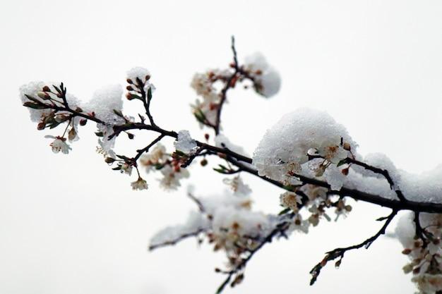 春の枝に雪が降る