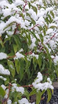 나무와 관목의 잎에 눈이 내립니다. 겨울 natur 배경입니다.