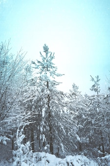 Снег на соснах зимой, в снежные дни