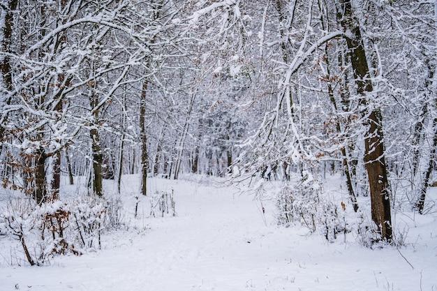 ウクライナのウィンターパークの木の枝に雪が降る。木々が雪に覆われた冬の森。静かな冬の自然