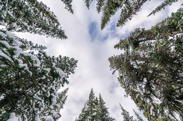 Snow on pine trees with cloud in blue sky background