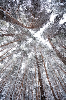 Snow over the spruces and pines in surami, pine forest view from below
