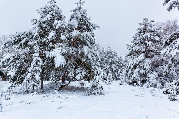 背の高い松、雪に覆われた木々と雪の冬の森。雪に覆われた冬の妖精の森