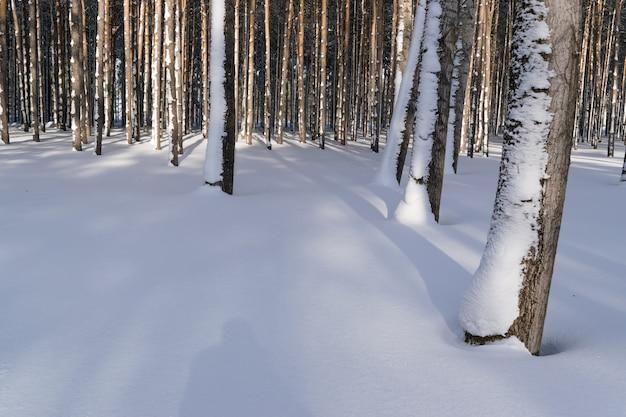 Снег зимой стволы деревьев в сосновом лесу