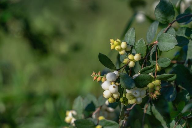 Snowberry - symphoricarpos white berries and leaves