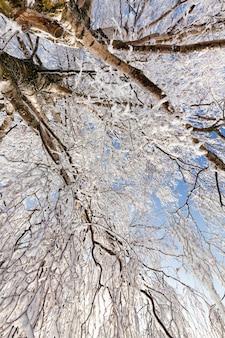 冬の雪に覆われた霜の白樺