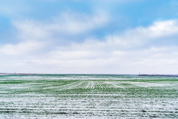 11月末に田舎で冬の穀物ロシアの緑の芽と雪に覆われたフィールド