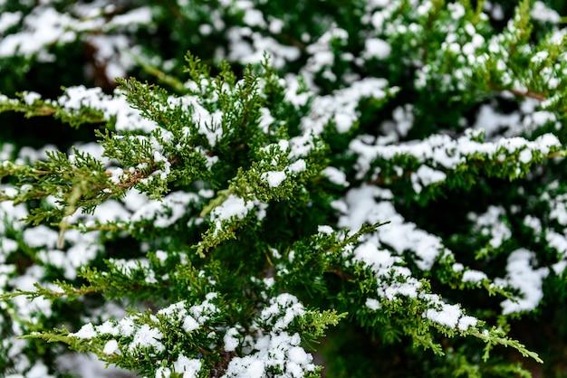 겨울에 눈 덮인 전나무 나뭇가지