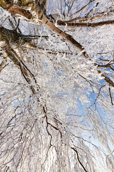 Snowcovered and hoarfrost birch in winter