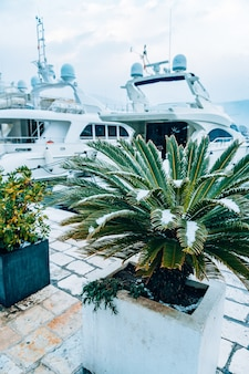 Заснеженные пальмы пальмы, покрытые снегом зимой на co