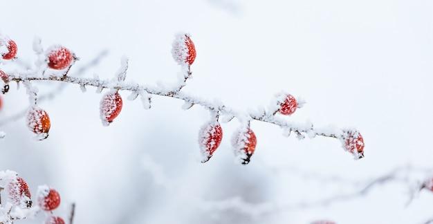 雪に覆われた赤いローズヒップ