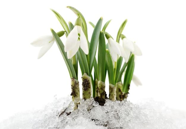 本物の雪から出てくるスノードロップの花
