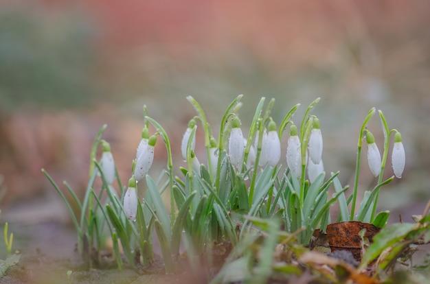 Snowdrop flower in nature