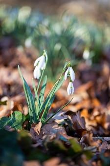헌병 봄 꽃. 이른 봄 숲에 눈 속에서 성장하는 beautifull 헌병 꽃. 흰색 snowdrop 꽃을 잘 보완하는 신선한 녹색.