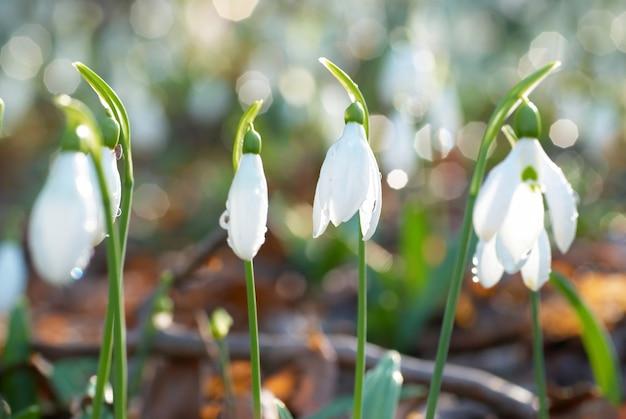 Snowdrop-柔らかい背景の春の白い花