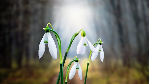 Snowdrops in the dark forest opposite the light that penetrates the trees_