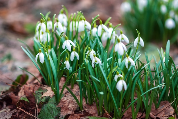 自然界の春の森galanthusnivalisで早咲きのスノードロップ