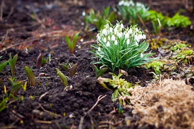 スノードロップ-最初の春の花
