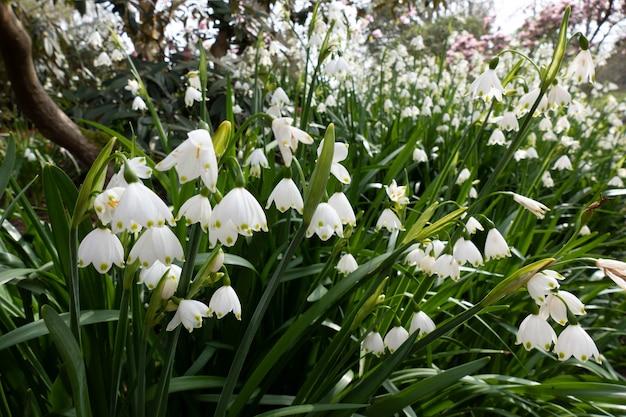 ウエストサセックスで4月に開花するスノードロップ