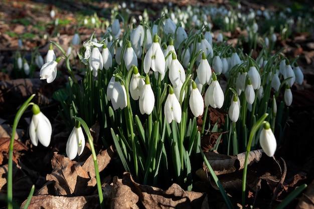 フォーキントンイーストサセックスで1月に開花するスノードロップ