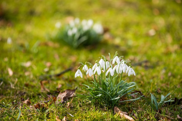 Snowdrops flowers on nature background in spring, small white drooping bell shaped flowers.