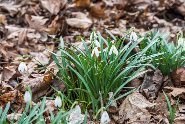 春の自然の背景にスノードロップの花、小さな白い垂れ下がった鐘形の花。春のシンボル