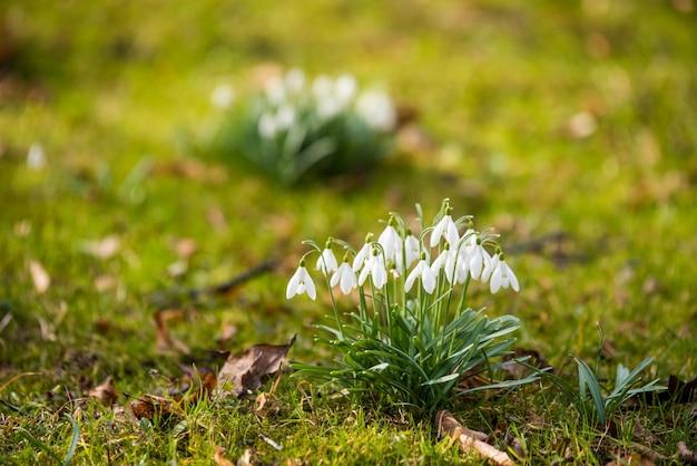 春の自然の背景にスノードロップの花、小さな白い垂れ下がった鐘形の花。