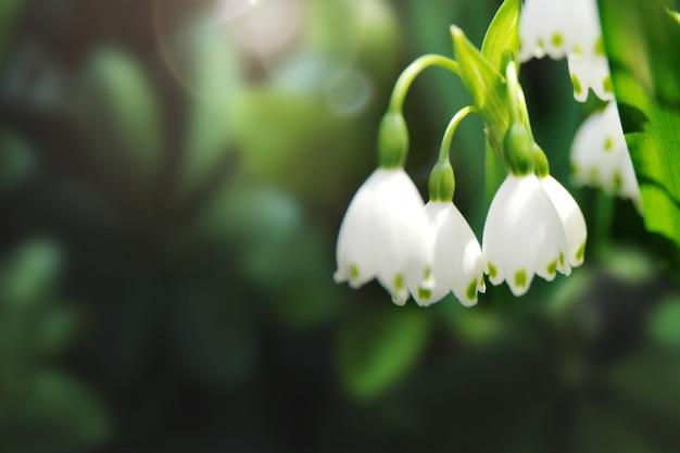 Snowdrops in a garden macro shot