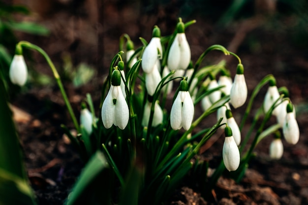 Snowdrops growing in the forest