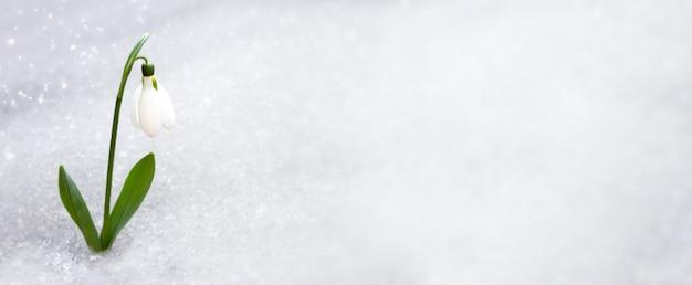 碑文の場所と雪の下から春先にスノードロップ。あなたのテキストのためのスペースのコピーで森の早春に壊れやすいスノードロップ。