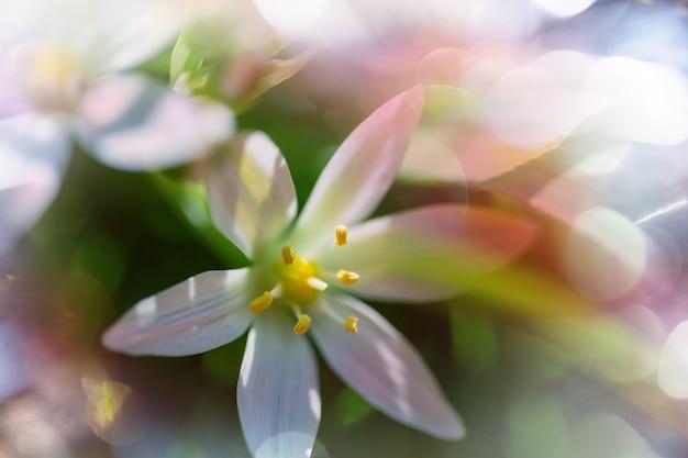 春のスノードロップ