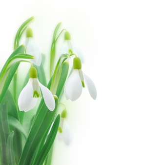 Snowdrops isolated on white background