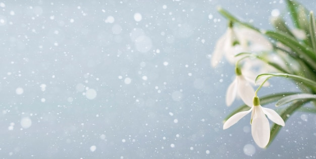 Snowdrops on a light blue background with copy space. banner.