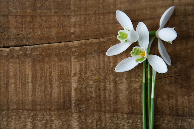 Snowdrops on wooden background. spring white fresh flowers.