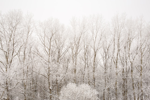 Snowfall in forest with hoarfrost, copy space