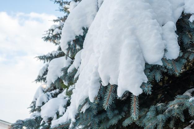 降雪。小ぎれいなな足の雪の吹きだまり。雪の中の木の雪に覆われたトウヒの足、新鮮な雪の吹きだまり。
