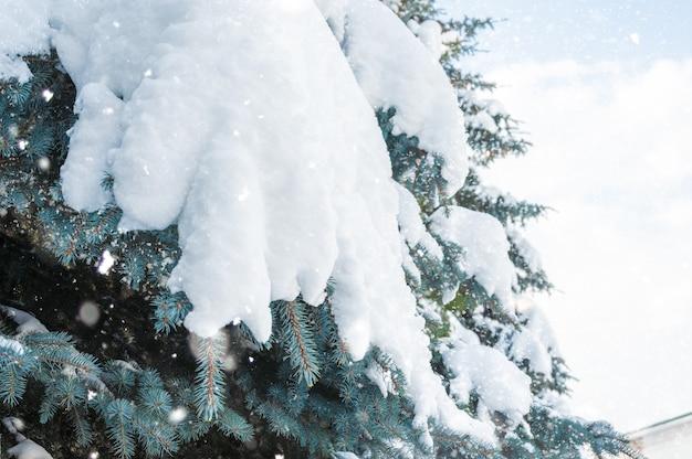 降雪。小ぎれいなな足の雪の吹きだまり。冬。雪に覆われたトウヒ。