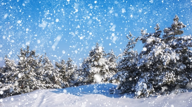 Снежинки падают с неба ели, покрытые инеем и снегом зимний лес