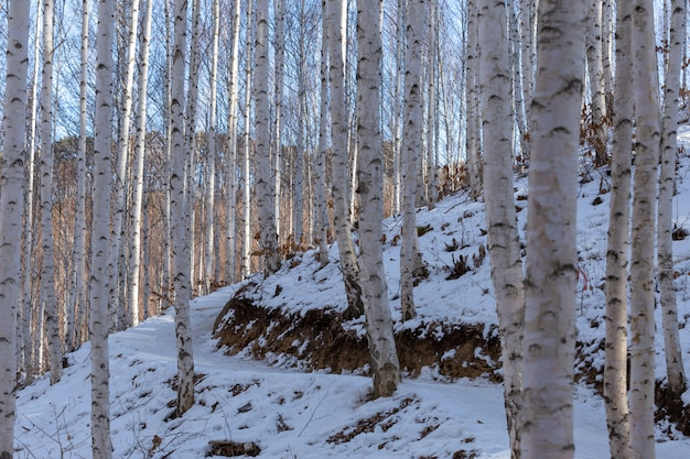 A snowy birch forest