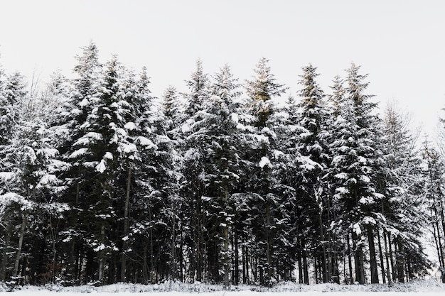 Snowy coniferous trees in forest