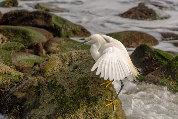 Snowy egret along the shoreline of the pacific ocean